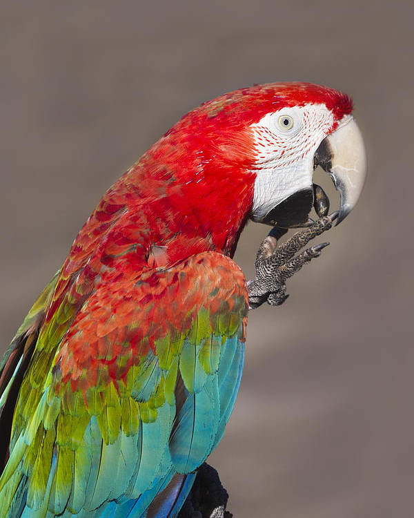 Scarlet Macaw Poster featuring the photograph Scarlet Macaw - 2 by Chris Smith