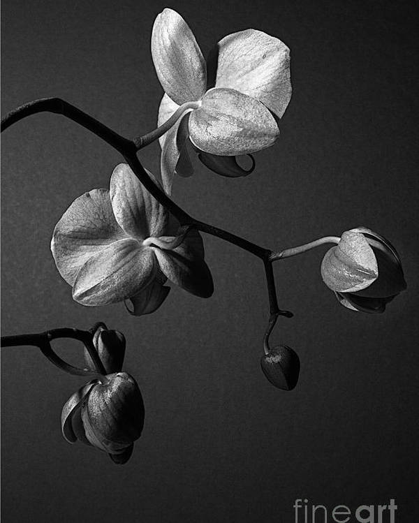 Orchid Poster featuring the photograph Scotopic Vision 3 - Orchid by Pete Hellmann