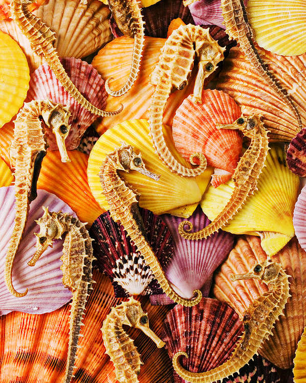Seahorses Poster featuring the photograph Sea Horses And Sea Shells by Garry Gay