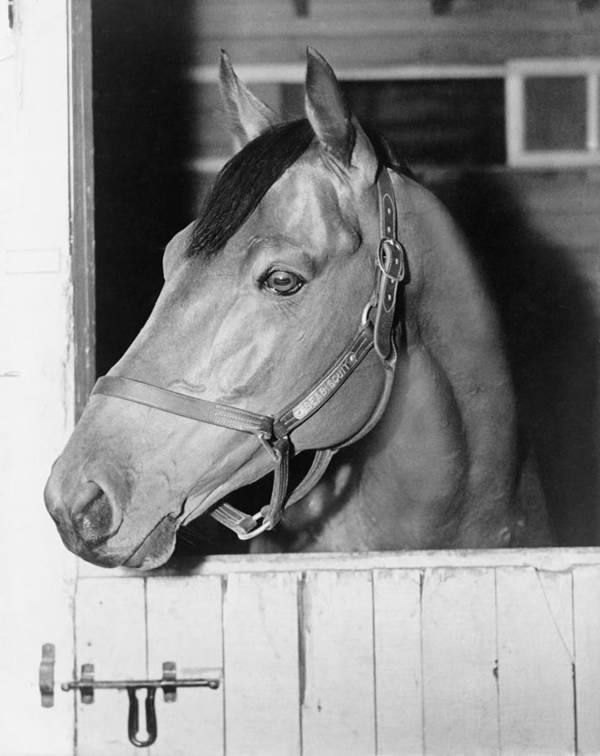 History Poster featuring the photograph Seabiscuit 1933-1947, In His Stall by Everett