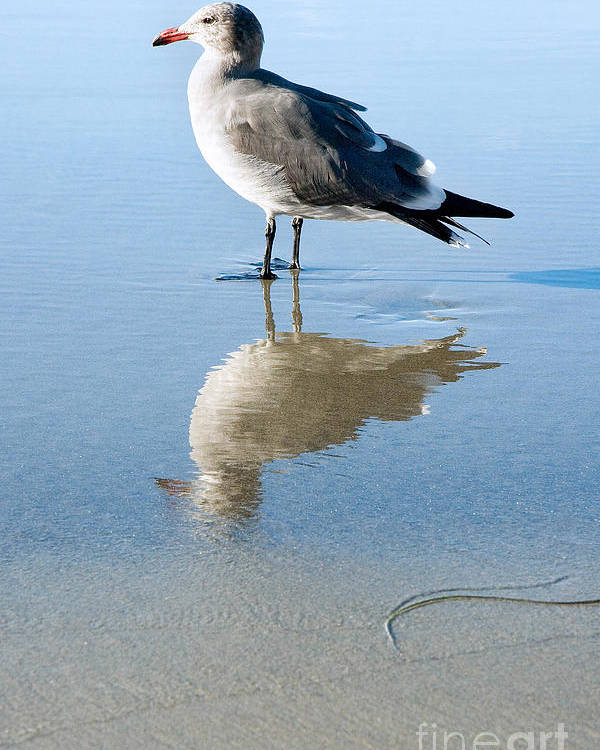 United States Meditation Serene Serenity Contemplating Contemplation Peaceful Sand Reflection Southern California La Jolla Beach Seagull Bird Fauna Animal Nature Calm America American Tranquil Summer Summertime San Diego Reflected Beautiful Gull Seabird Profile Standing Side Laridae Sunny Quiet Poster featuring the photograph Seagull At La Jolla Shores Beach California by Julia Hiebaum