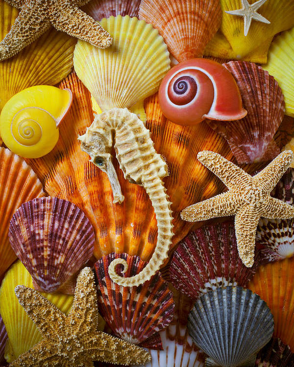 Seahorses Poster featuring the photograph Seahorse And Assorted Sea Shells by Garry Gay
