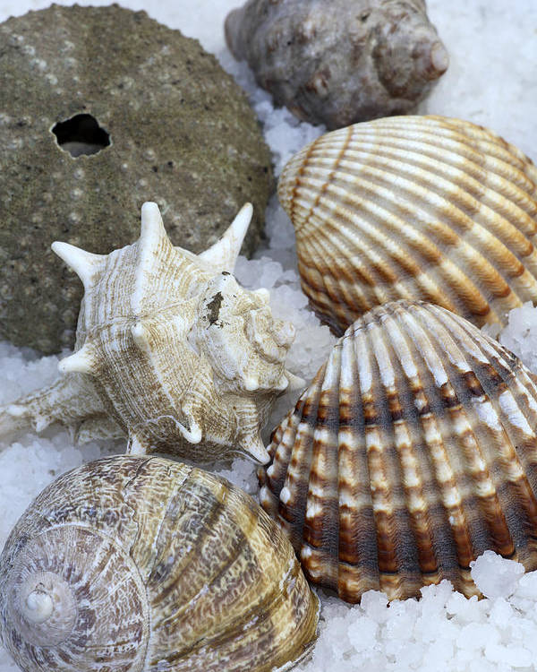 Sea Poster featuring the photograph Seashells by Frank Tschakert