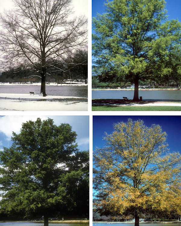 Tree; Green; Summer; Spring; Fall; Winter; Snow; Scenic; Lake; Freedom Park; Charlotte; Nc; Seasons; 4 Seasons; Four Seasons; Nature; Ecology; Global Warming; Time; Passage Of Time; Charlotte; Nc; North Carolina Poster featuring the photograph Seasons Of Time by Gerard Fritz