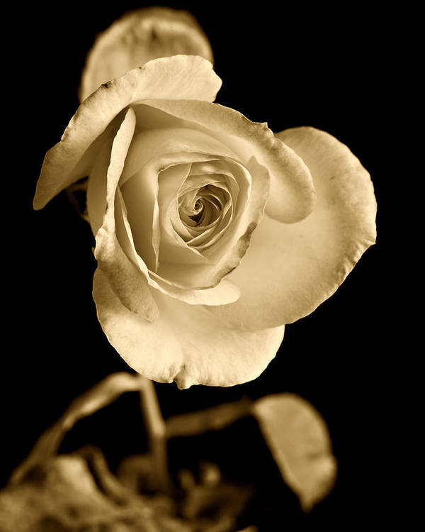 Rose Poster featuring the photograph Sepia Antique Rose by M K Miller