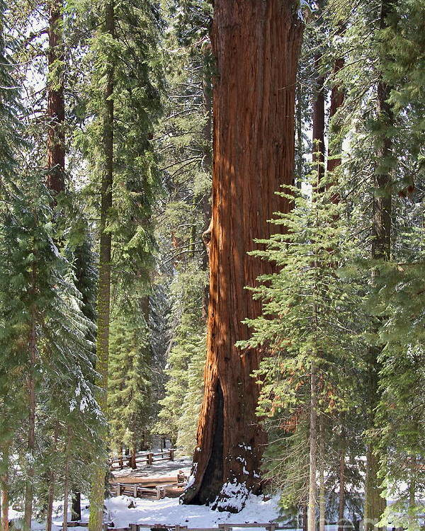 Sequoia National Park General Sherman Tree Poster featuring the photograph Sequoia General Sherman by Suzanne Oesterling