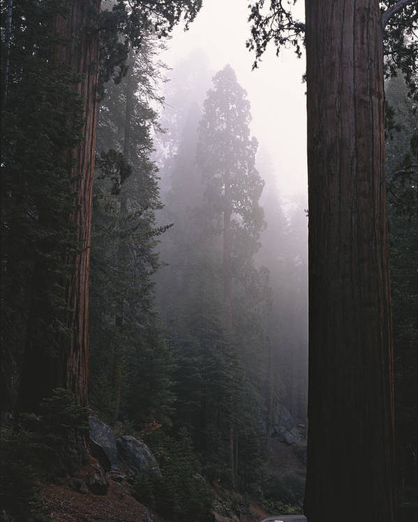 Plants Poster featuring the photograph Sequoia Trees Dwarf A Car Traveling by Carsten Peter