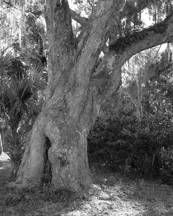 Tree Poster featuring the photograph Kingsley Plantation Tree by Spencer Studios