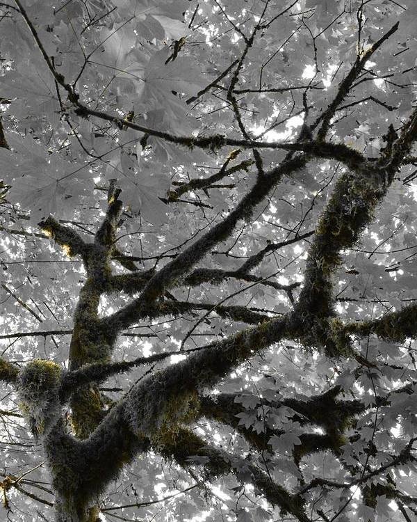 Tree Poster featuring the photograph Shadow Moss by Charlaina Swinney