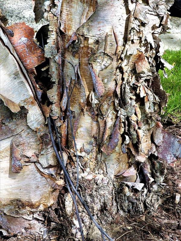 Pealing Bark Poster featuring the photograph River Birch by Barbara Ebeling