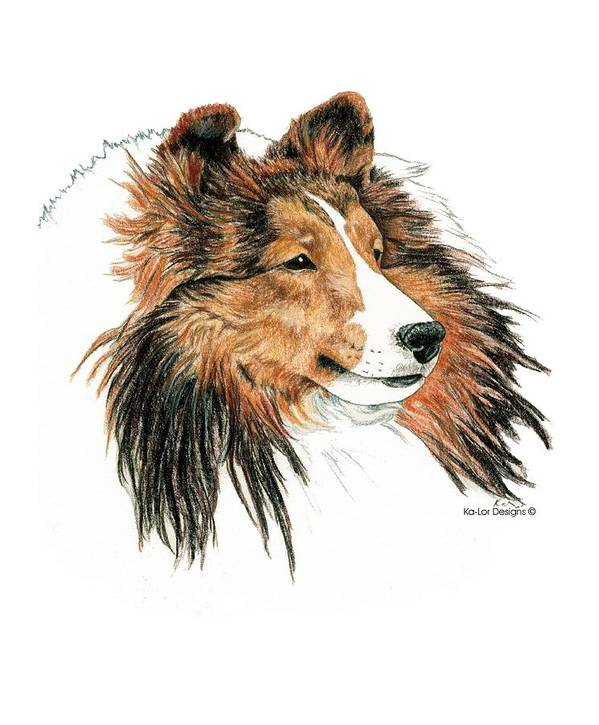 Sheltie Poster featuring the drawing Shetland Sheepdog, Sheltie Sable by Kathleen Sepulveda
