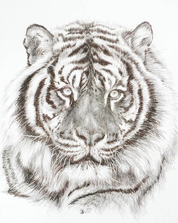 Big Cat Poster featuring the drawing Shimmer by Barbara Keith