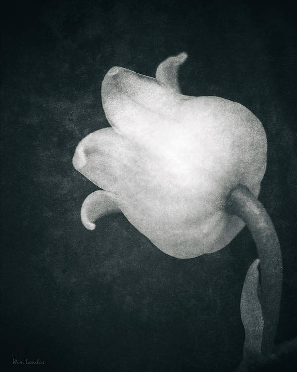 Lily Of The Valley Poster featuring the photograph Shy by Wim Lanclus