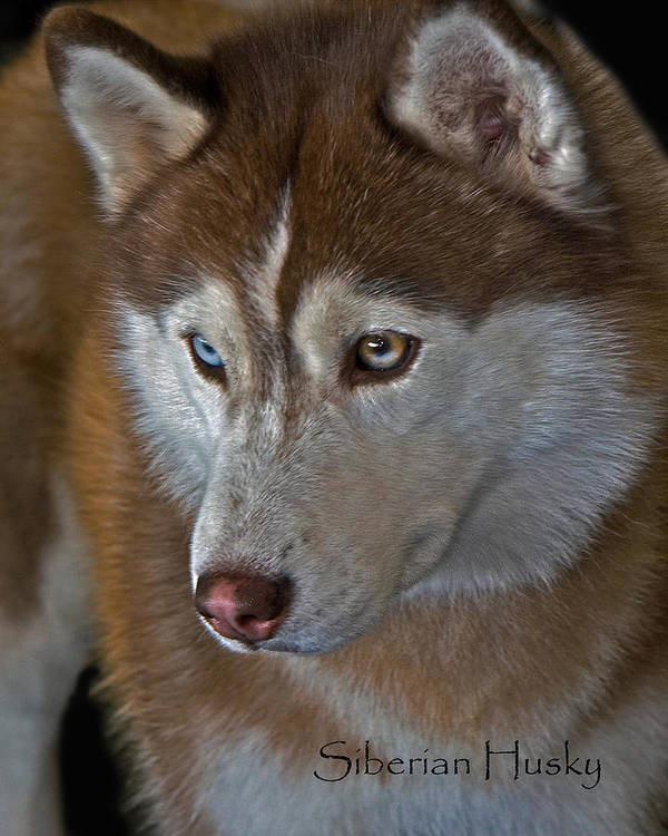 Siberian Husky Poster featuring the photograph Siberian Husky by Larry Linton