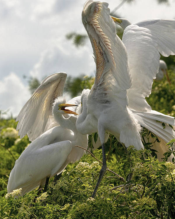 Bird Poster featuring the photograph Sibling Squabble by Christopher Holmes