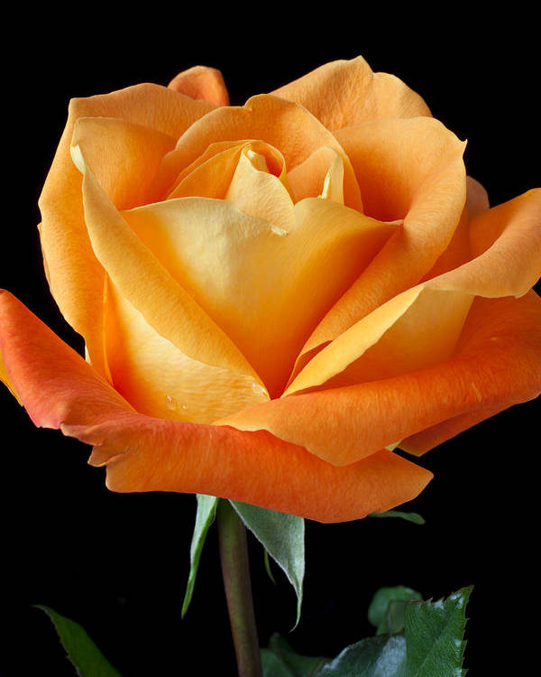 Single Poster featuring the photograph Single Orange Rose by Garry Gay