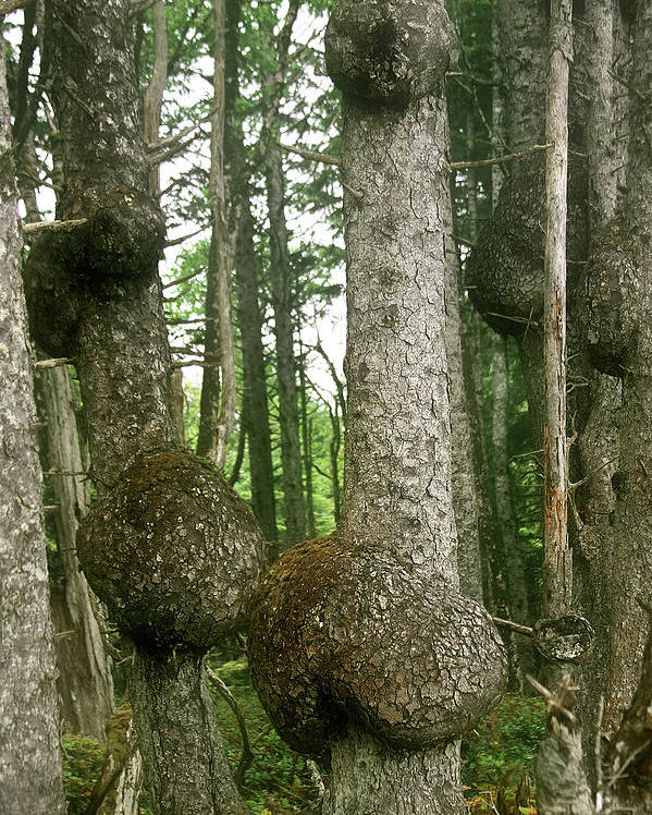 Spruce Poster featuring the photograph Sitka Spruce Burls On The Olympic Coast Olympic National Park Wa by Christine Till