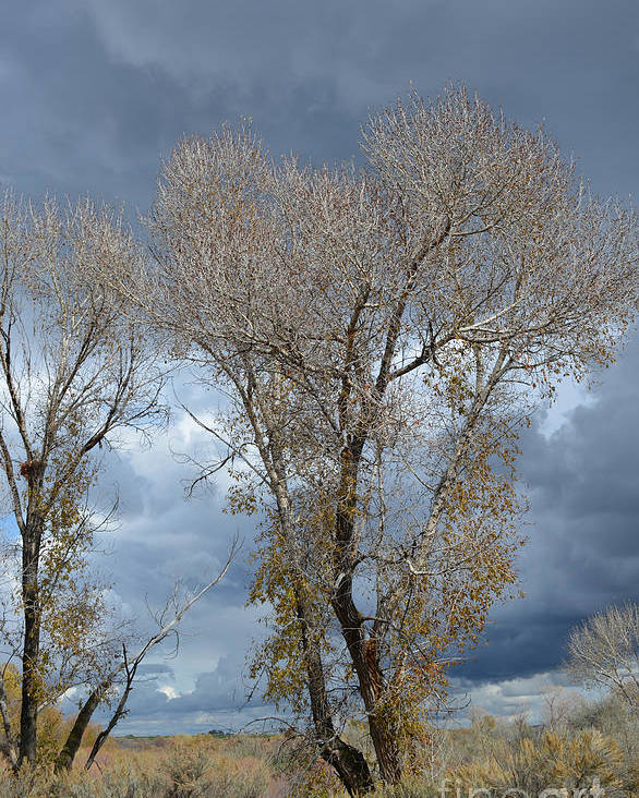 Idaho Poster featuring the photograph Skeleton Trees by Gale Cochran-Smith