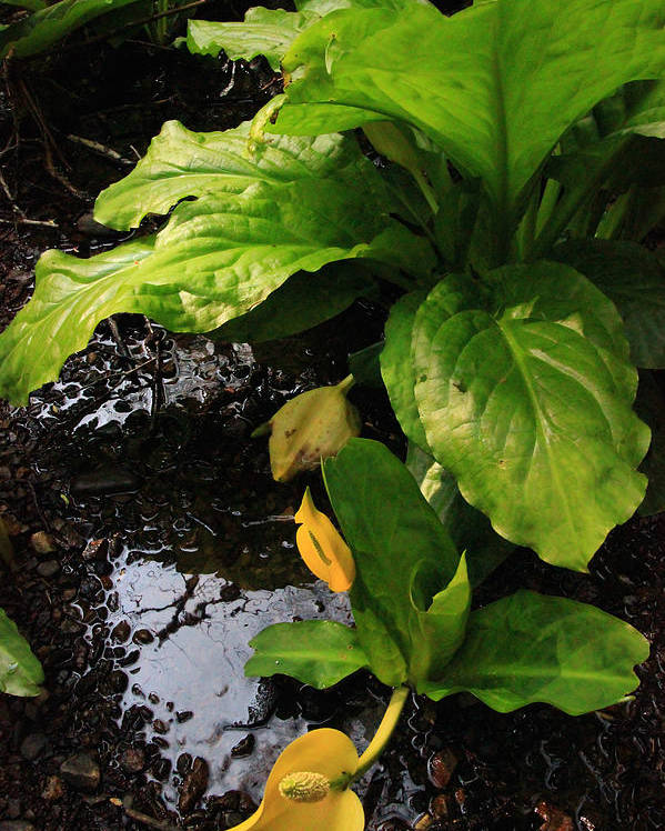 Herbs Poster featuring the photograph Skunk Cabbage Beauty by Rasma Bertz