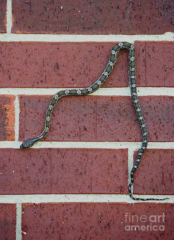 Nature Poster featuring the photograph Snaking Down A Brick Wall by Lucyna A M Green