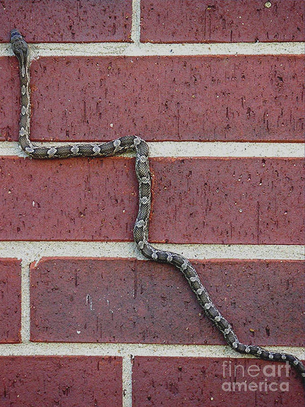 Nature Poster featuring the photograph Snaking Up A Brick Wall by Lucyna A M Green
