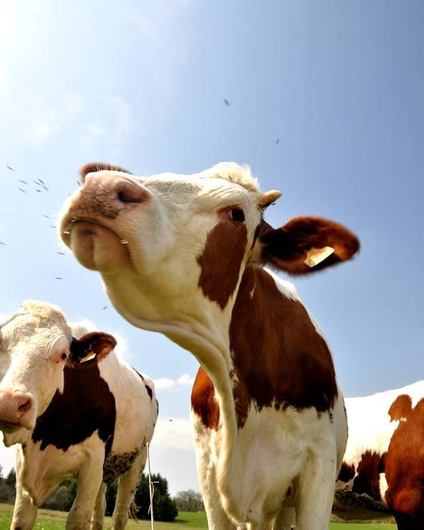 Cow Poster featuring the photograph Sneeze by Hans Kool