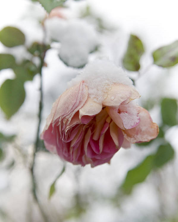 Snow Poster featuring the photograph Snow-covered Rose Flower by Frank Tschakert