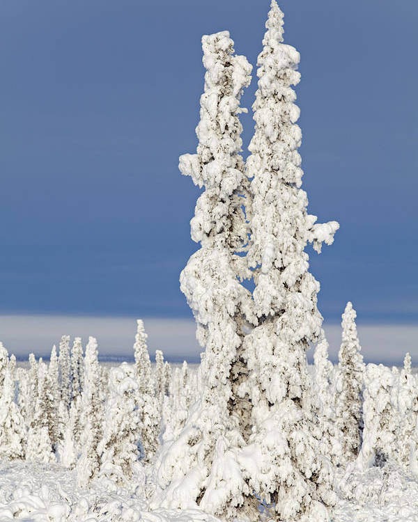 Winter Poster featuring the photograph Snow Covered Spruce Trees by Tim Grams