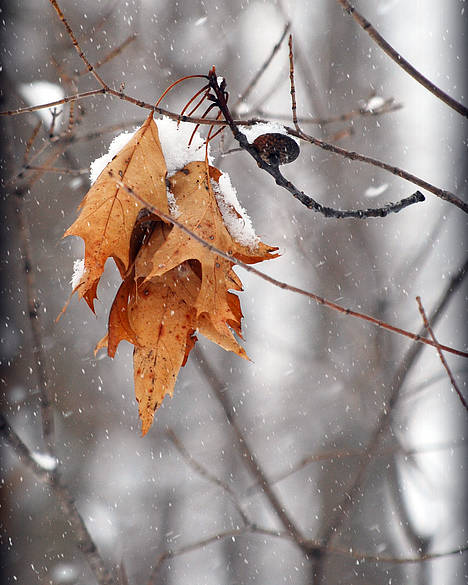 Leaves Poster featuring the photograph Snow Leaves by Lila Fisher-Wenzel