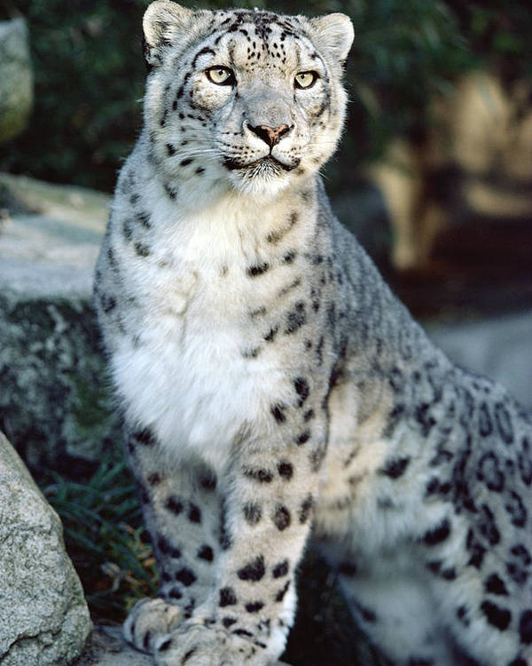 Mp Poster featuring the photograph Snow Leopard Uncia Uncia Portrait by Gerry Ellis