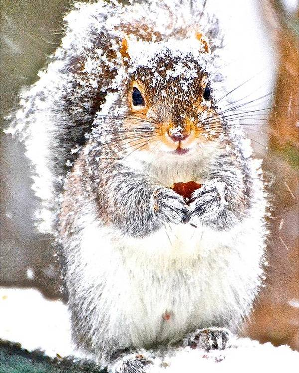 Squirrel Poster featuring the photograph Snow Squirrel by Danielle Sigmon