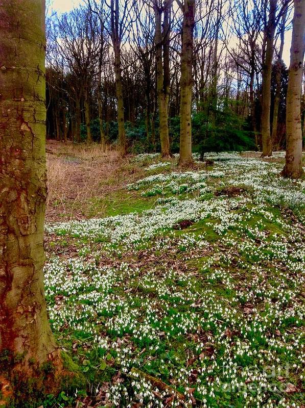 Snowdrops Poster featuring the photograph Snowdrop Woods by Joan-Violet Stretch