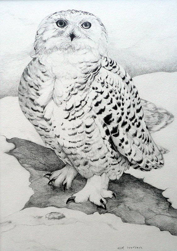 Snowy Owl Poster featuring the drawing Snowy Owl by Jill Iversen