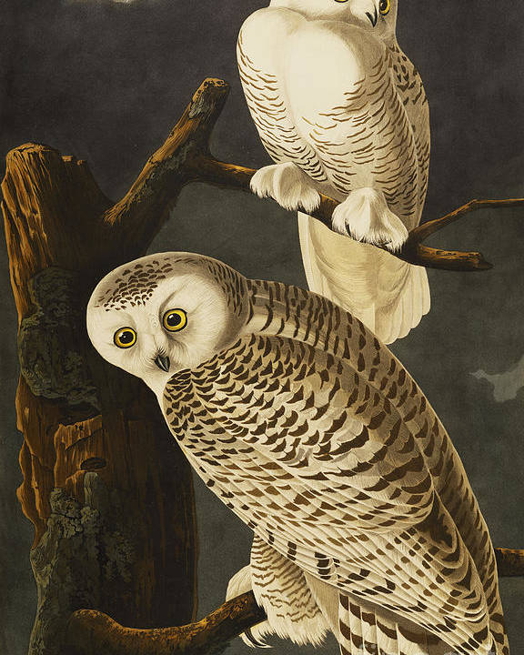 Snowy Owl (nyctea Scandiaca) Plate Cxxi From 'the Birds Of America' (aquatint & Engraving With Hand-colouring) By John James Audubon (1785-1851) Poster featuring the drawing Snowy Owl by John James Audubon