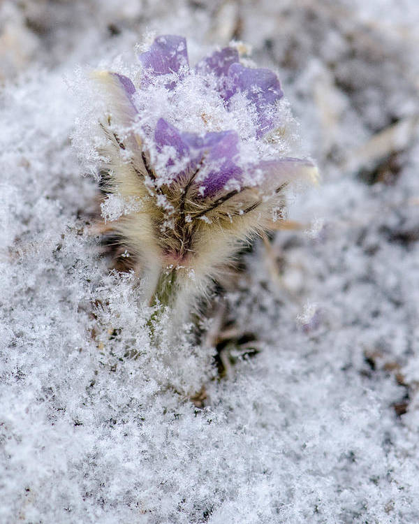 Dakota Poster featuring the photograph Snowy Pasqueflower Morning by Dakota Light Photography By Dakota