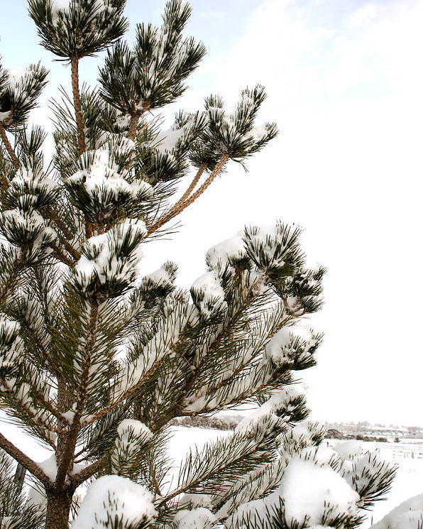 Snow Poster featuring the photograph Snowy Pine by Julie Gropp