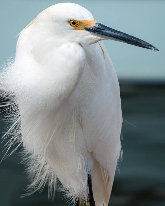 Snowy White Egret Poster featuring the photograph Snowy White Egret by Don West