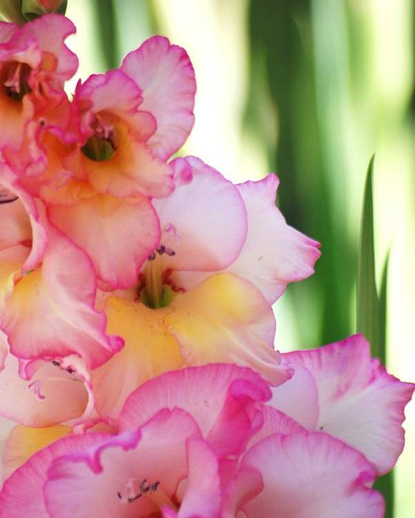 Gladiola Poster featuring the photograph So Glad by Sheryl Giza