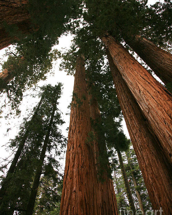 Sequoia National Park Poster featuring the photograph Soaring Sequoias by Timothy Johnson