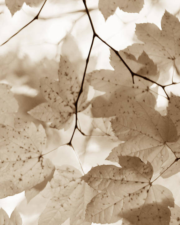 Leaf Poster featuring the photograph Softness Of Brown Maple Leaves by Jennie Marie Schell