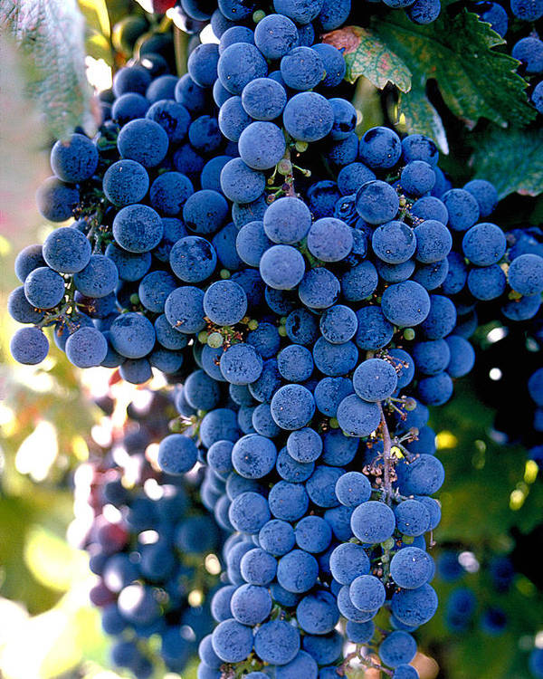 Wine Country Poster featuring the photograph Sonoma Grapes by Bart Edson