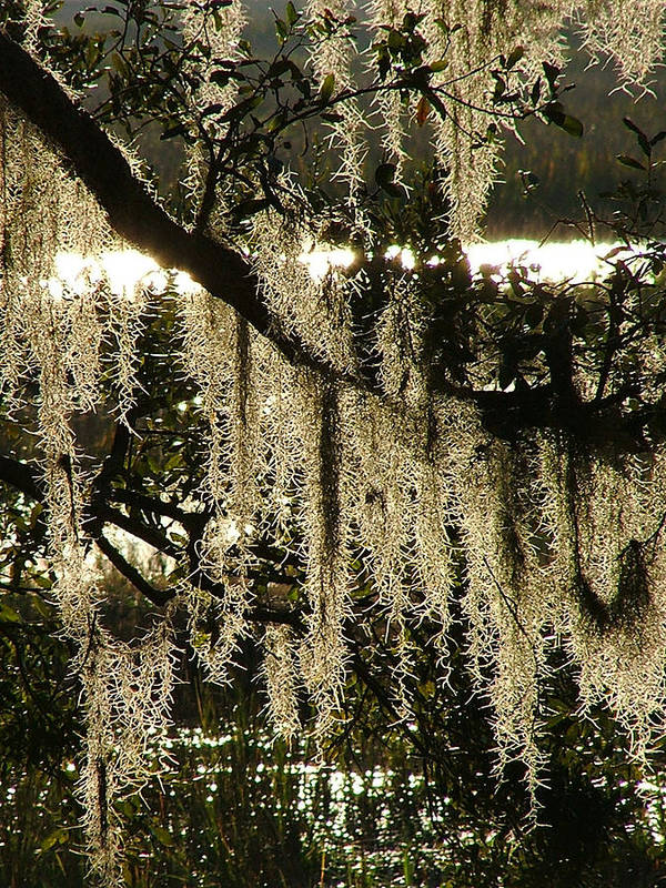 Marsh Poster featuring the photograph Spanish Moss by Donna Thomas