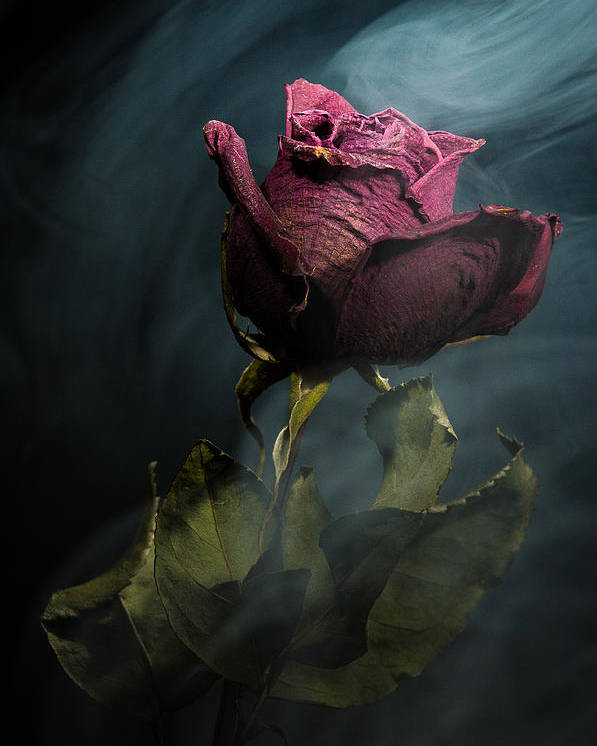 Rose Poster featuring the photograph Spirit Of A Dying Rose by Vincent Knaus