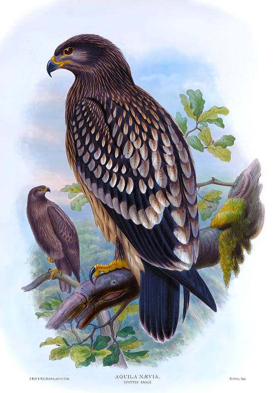 Spotted Eagle Poster featuring the painting Spotted Eagle Antique Bird Print Joseph Wolf Birds Of Great Britain by Orchard Arts