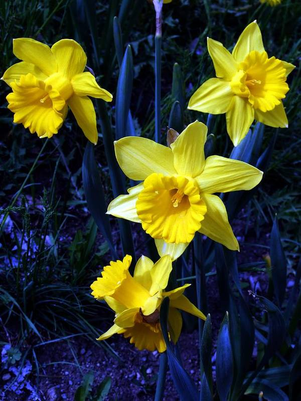 Flowers Poster featuring the photograph Spring Daffodills by Tiffany Vest