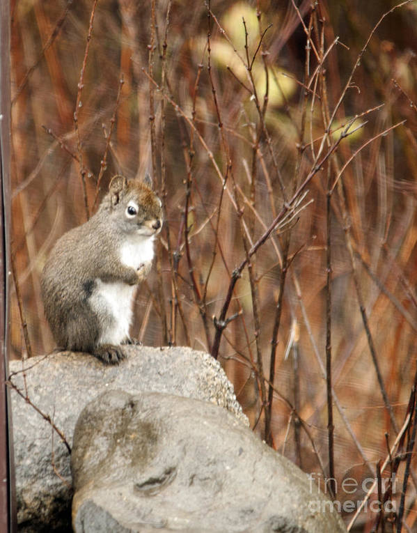 Squirrel Poster featuring the photograph Squirrel by Cindy Murphy - NightVisions