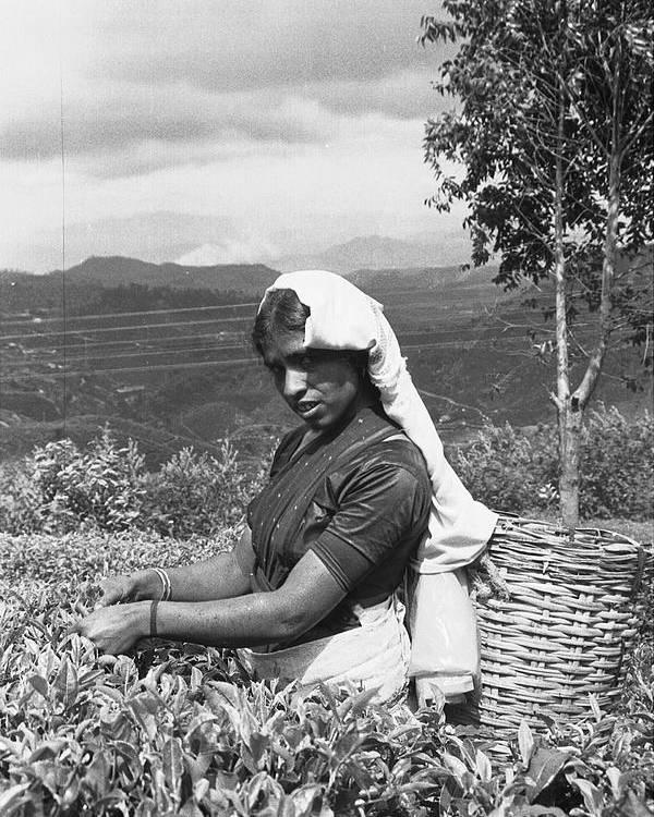 Tea Poster featuring the photograph Sri Lanka Tea Plantation by Omar Shafey