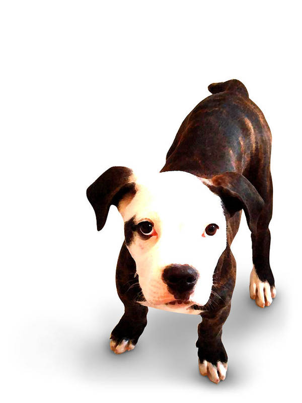 Staffordshire Bull Terrier Poster featuring the mixed media Staffordshire Bull Terrier Puppy by Michael Tompsett