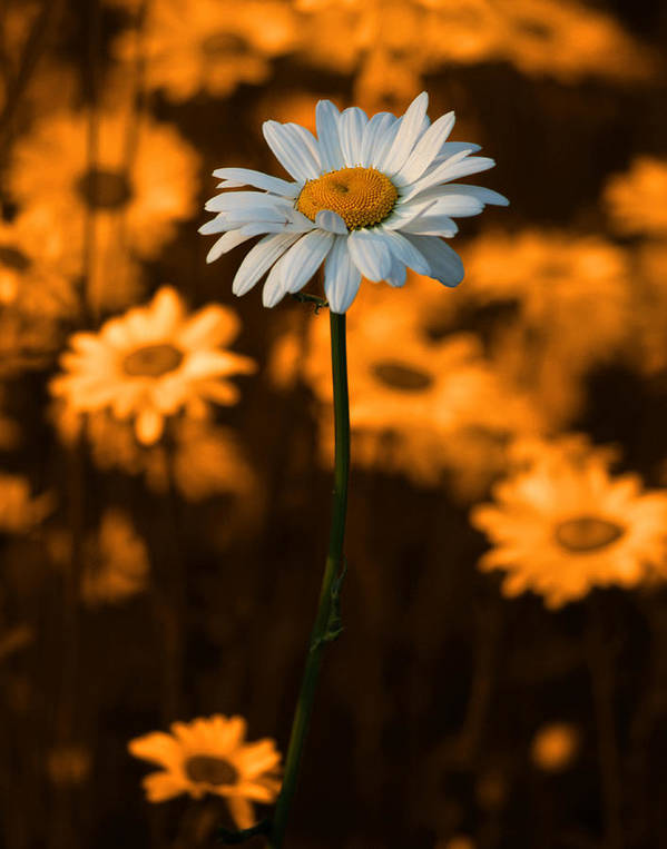 Daisy Poster featuring the photograph Standing Alone by Linda McRae