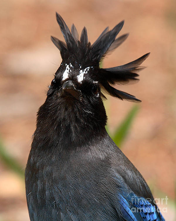 Jay Poster featuring the photograph Stellar's Jay With Rock Star Hair by Max Allen